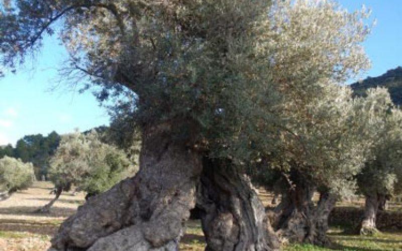 Великиот пост и маслинката